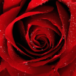Roses Jigsaw Puzzles  (MOD, Unlimited Money) v2.10.12